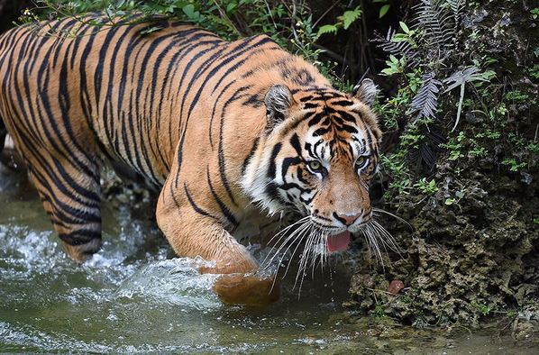 Tiger cooling down at Zoo Miami